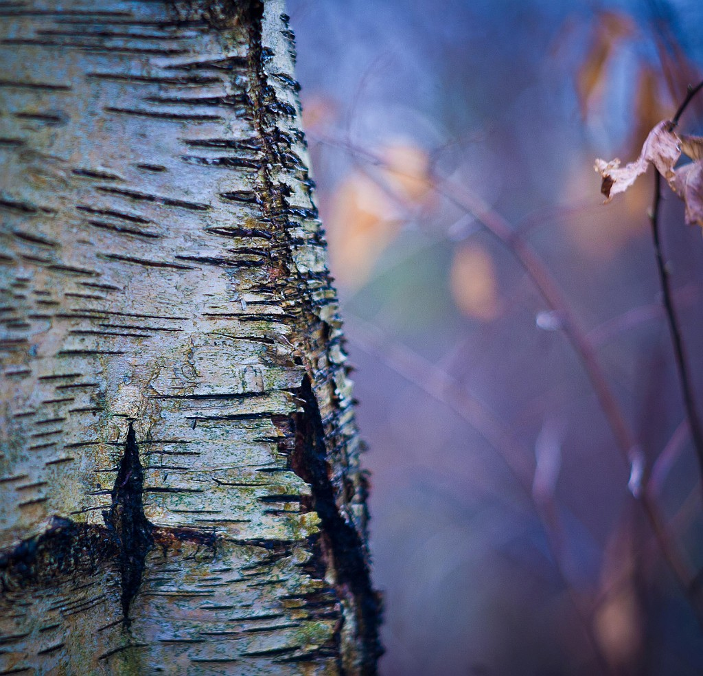 IMAGE: http://www.4photos.de/galerie/Natur/slides/Birke.jpg
