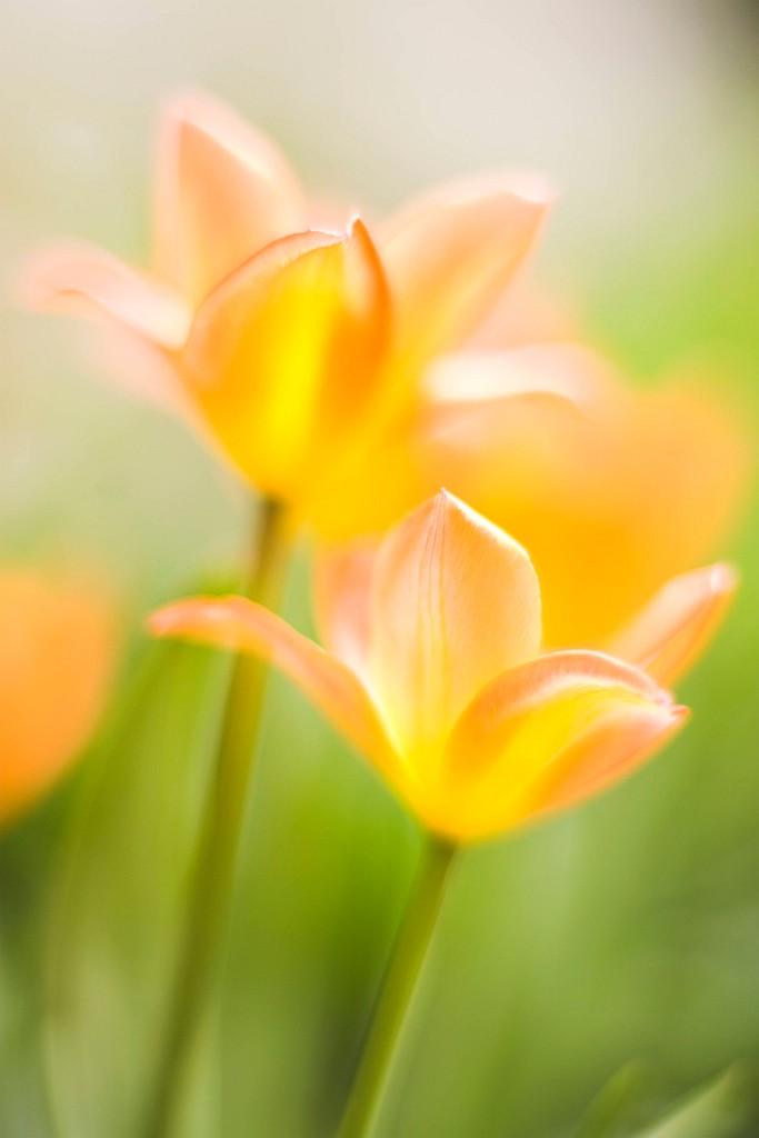 IMAGE: http://www.4photos.de/galerie/Natur/slides/Tulpe.jpg