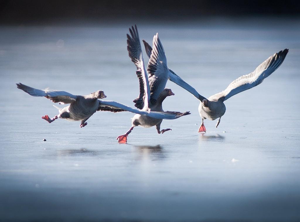 IMAGE: http://www.4photos.de/galerie/Natur/slides/Wildgaense-Tumult.jpg